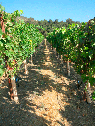 Our New Pierce's Disease Resistant Vineyard